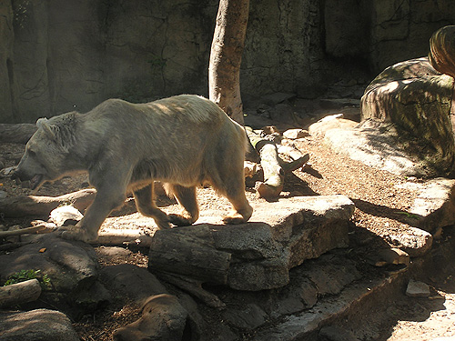 photo Syrian brown bear / <span class='cursive'>Ursus arctos syriacus</span>