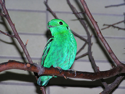 photo Lesser green broadbill / <span class='cursive'>Calyptomena viridis</span>