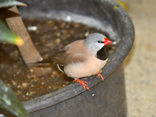 Heck's long-tailed finch