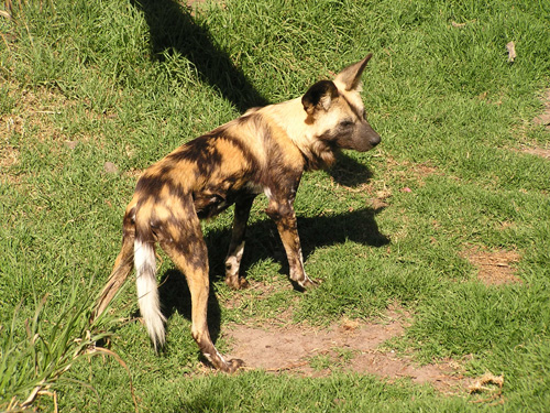 photo Lycaon pictus / African hunting dog