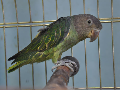 photo Blue-rumped parrot / <span class='cursive'>Psittinus cyanurus</span>
