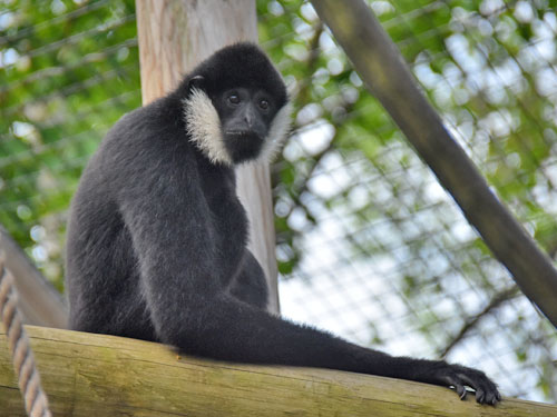 photo White-cheeked gibbon / <span class='cursive'>Nomascus leucogenys</span>