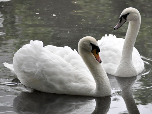 photo Mute swan / <span class='cursive'>Cygnus olor</span>