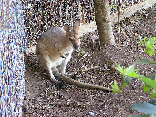 photo Agile wallaby / <span class='cursive'>Macropus agilis</span>