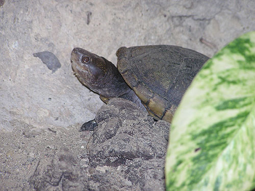 photo Mexican mud turtle / <span class='cursive'>Kinosternon hirtipes</span>