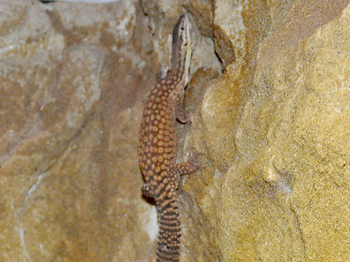photo Spiny-tailed monitor / <span class='cursive'>Varanus acanthurus</span>