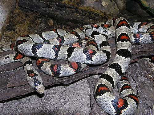 Greer's kingsnake