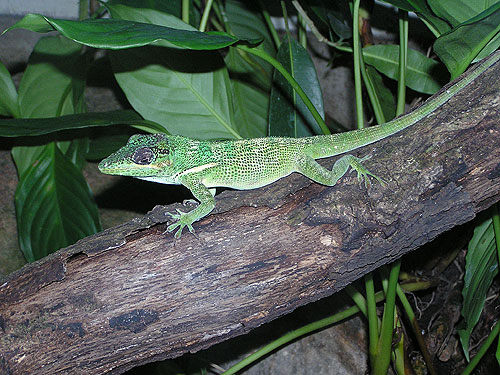 photo Knight anole / <span class='cursive'>Anolis equestris</span>