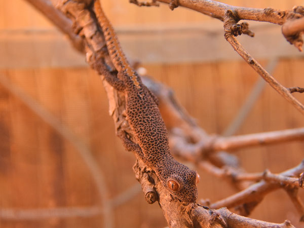 Golden spiny-tailed gecko