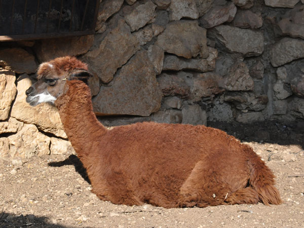 photo Alpaca / <span class='cursive'>Vicugna pacos</span>