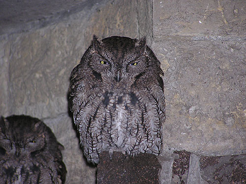 Common screech owl