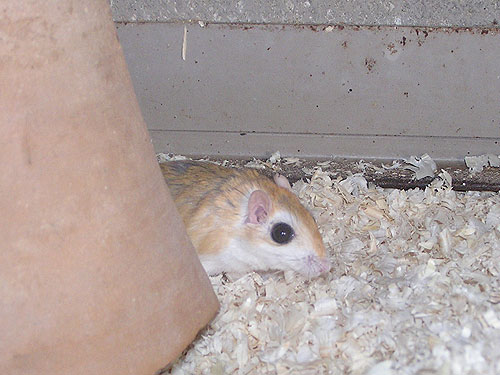 Greater egyptian gerbil