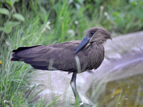 photo Scopus umbretta / Hammerkop