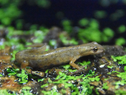 photo Smooth newt / <span class='cursive'>Triturus vulgaris</span>