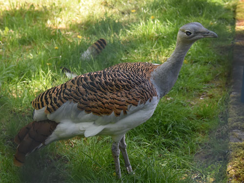 photo Great bustard / <span class='cursive'>Otis tarda tarda</span>