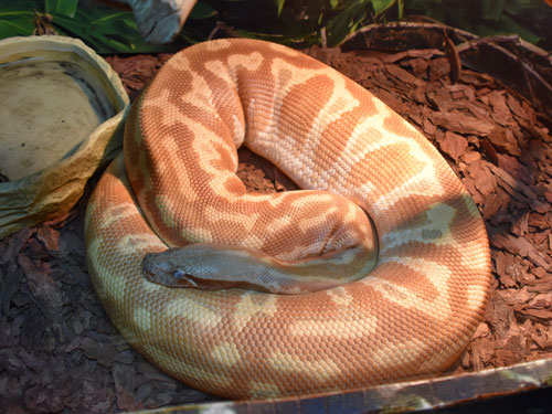 photo Blood python / <span class='cursive'>Python brongersmai</span>