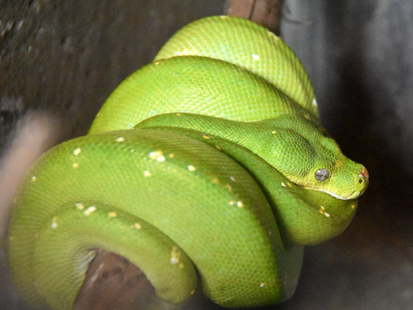 photo Morelia viridis / Green tree python