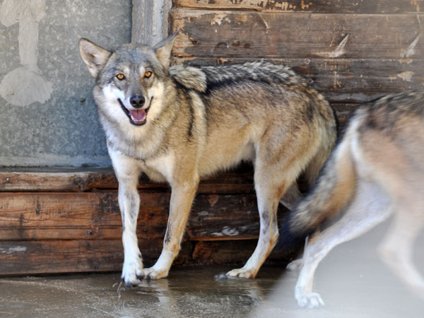 photo Indian wolf / <span class='cursive'>Canis lupus pallipes</span>