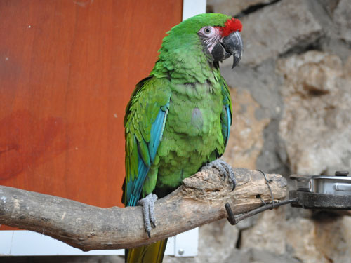 photo Military macaw / <span class='cursive'>Ara militaris militaris</span>