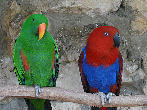 photo Red-sided eclectus parrot / <span class='cursive'>Eclectus roratus polychloros</span>