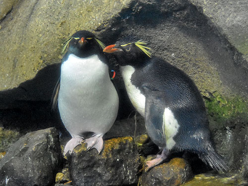 photo Rockhopper penguin / <span class='cursive'>Eudyptes moseleyi</span>