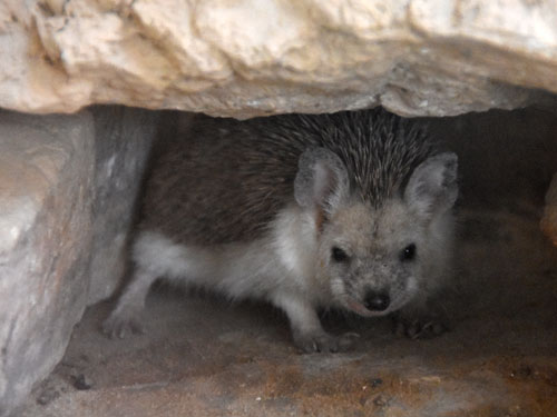 photo Long-eared hedgehog / <span class='cursive'>Hemiechinus auritus aegyptius</span>