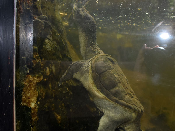 photo Alligator snapping turtle / <span class='cursive'>Macrochelys temminckii</span>