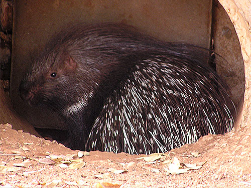 photo Indian crested porcupine / <span class='cursive'>Hystrix indica indica</span>