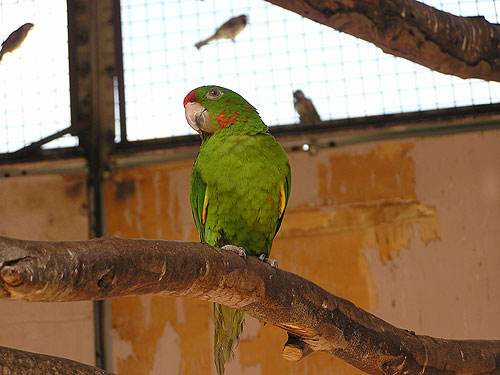 photo Crimson-fronted parakeet / <span class='cursive'>Psittacara finschi</span>
