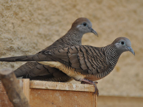 photo Zebra dove / <span class='cursive'>Geopelia striata</span>