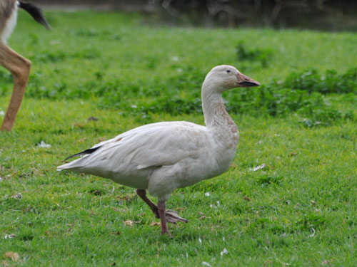 photo Snow goose / <span class='cursive'>Anser caerulescens</span>