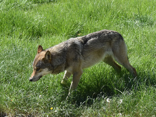 photo European grey wolf / <span class='cursive'>Canis lupus lupus</span>