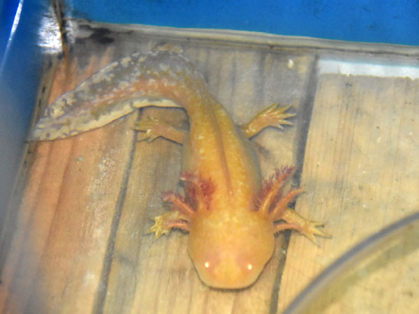 Axolotl / Ambystoma mexicanum<br> Total: 46