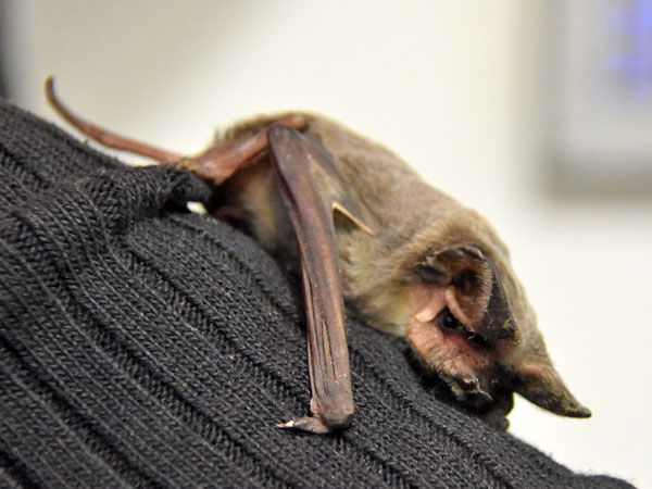 European free-tailed bat