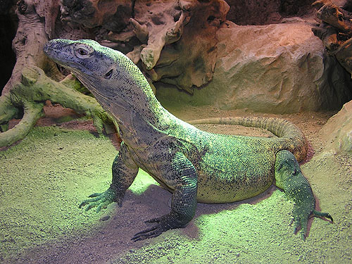 photo Komodo dragon / <span class='cursive'>Varanus komodoensis</span>