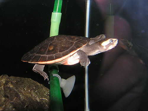 Australian big-headed turtle