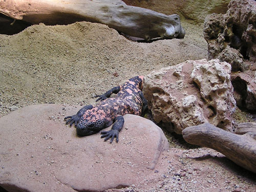 photo Gila monster / <span class='cursive'>Heloderma suspectum</span>