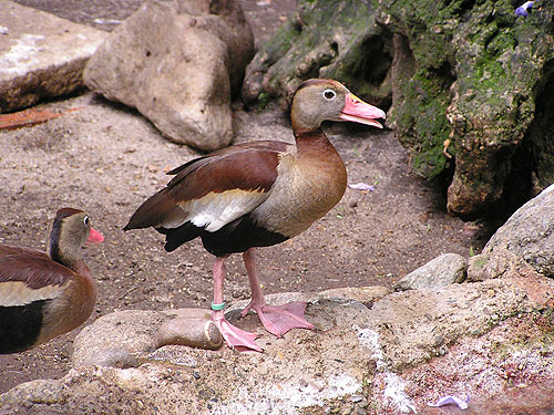 Southern black-bellied whistling duck