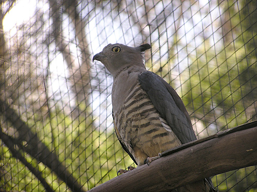 Queensland crested hawk