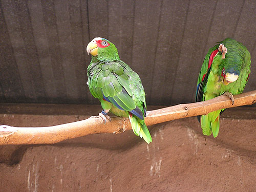 photo White-fronted amazon / <span class='cursive'>Amazona albifrons albifrons</span>