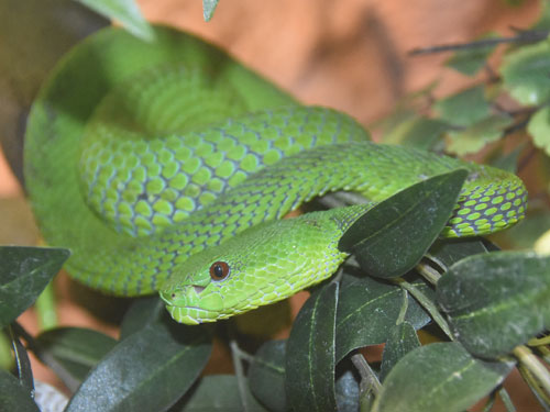 photo Trimeresurus popeorum / Pope's bamboo pitviper
