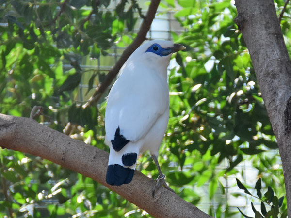 photo Leucopsar rothschildi / Bali mynah