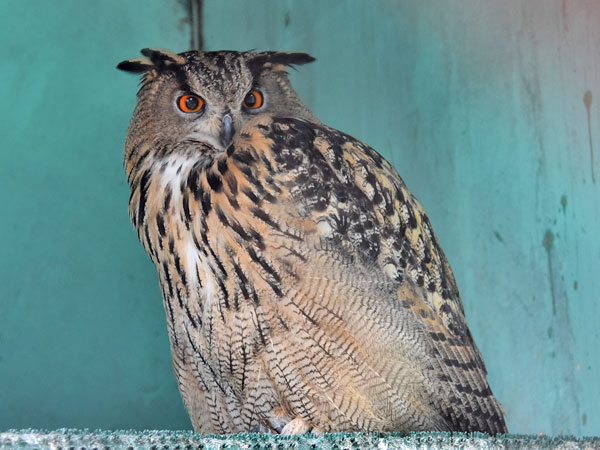 photo Bubo bubo / Eurasian eagle owl