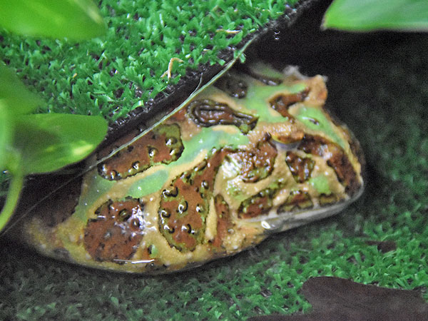 Ornate horned frog / Ceratophrys ornata<br> Total: 30