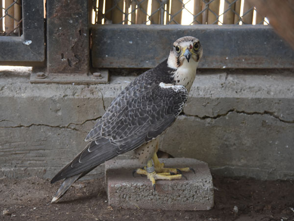photo Lanner falcon / <span class='cursive'>Falco biarmicus</span>