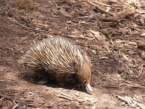 photo Short-nosed echidna / <span class='cursive'>Tachyglossus aculeatus</span>