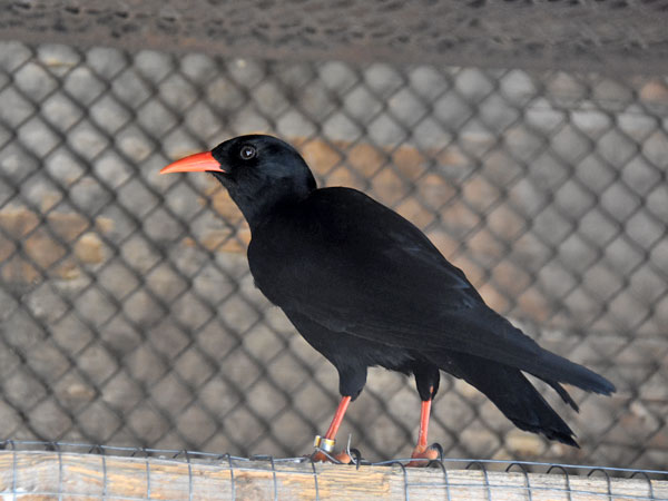 photo Pyrrhocorax pyrrhocorax / Chough