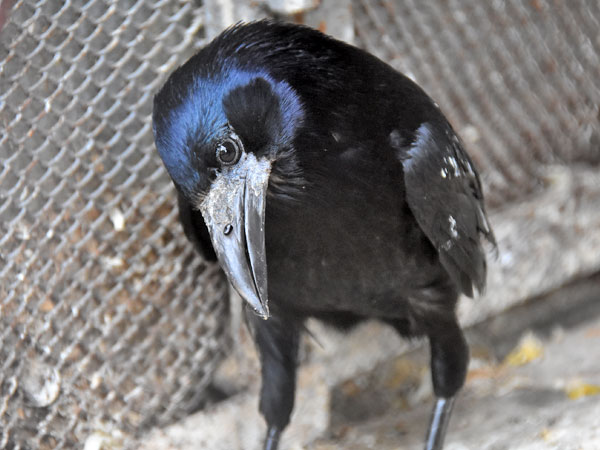 photo Corvus frugilegus / Rook