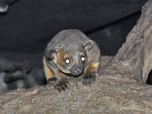photo Kinkajou / <span class='cursive'>Potos flavus</span>