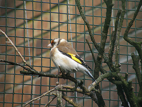 Siberian goldfinch
